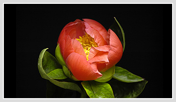 paeonialactiflora.jpg