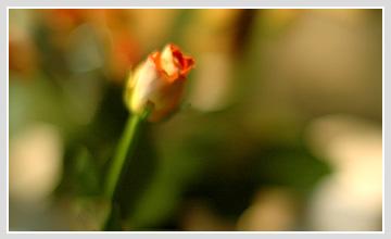 rose1010.jpg